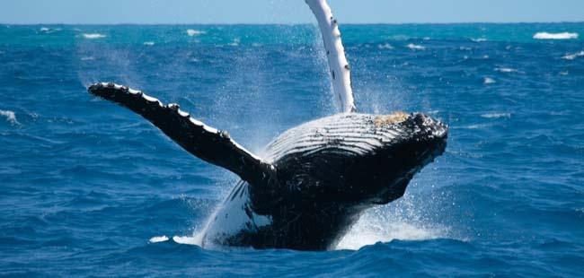 ballenas chiriqui
