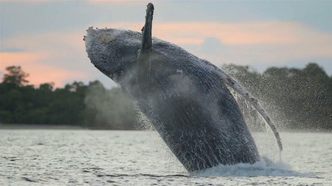 Ballenas en Isla Contadora